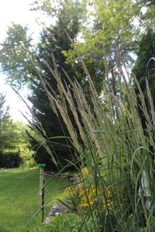 karl foerster grass 6-17-5032.JPG