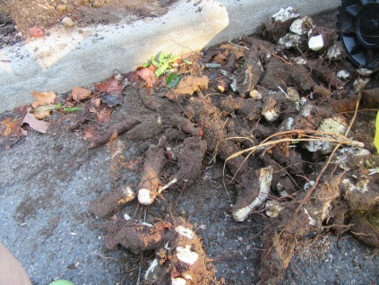 left garden w yucca root removal 8-17 (1 of 8).JPG (1 of 8).JPG