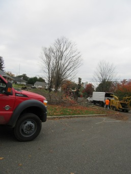 sugar maple destruction 10-17-3653
