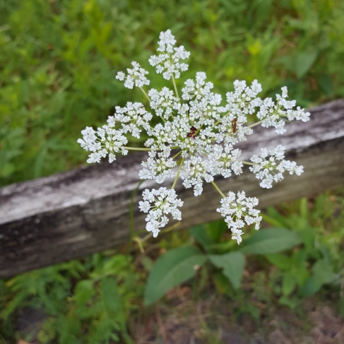 queen Anne's lace in bloom white 8-19 3